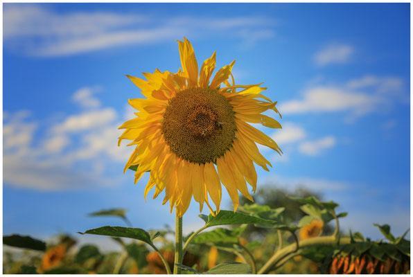 Sonnenblume 0291