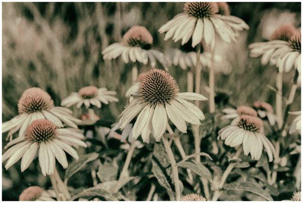 Sonnenhut - Echinacea - Vintage Art 0200