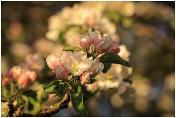 Zweig mit Apfelblüten 2500
