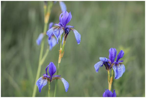 Sibirische Schwertlilien 2998