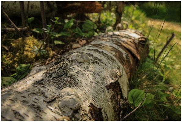 Totholz-Birkenstamm mit Pilzen 7327