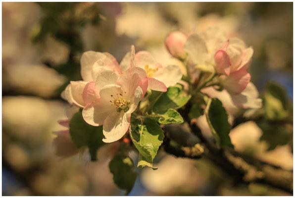 Apfelblüte 2607