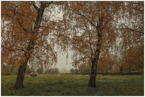 Rinderherde zwischen Beuren und Hausen 4671