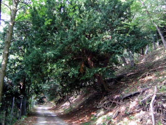 """Ibengarten bei Dermbach (der Premiumwanderweg """"DER HOCHRHÖNER"""" führt durch einen alten Eibenbaumbestand), Fotografin: Margit Markert"""