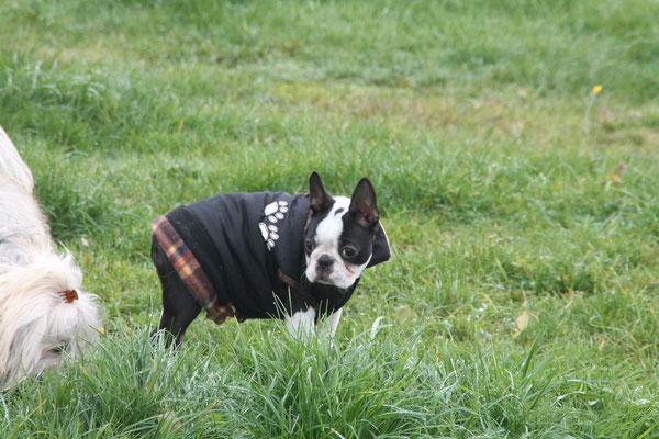 Boston Terrier von Züchterin in Neuerburg bei Bitburg/Prüm/Trier!