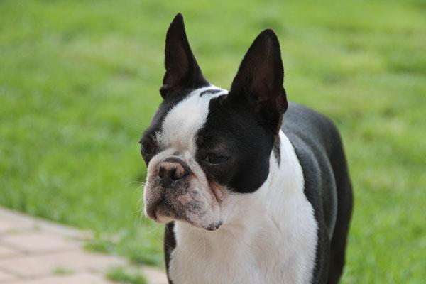 Standardmäßiger Boston Terrier Kopf..., Boston Terrier in schwarz/weiß..., zeitweise Boston Terrier Welpen abzugeben!