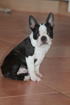 Boston Terrier Zucht/Welpen/Würfe in Deutschland/Rheinland-Pfalz/Luxemburg/Belgien
