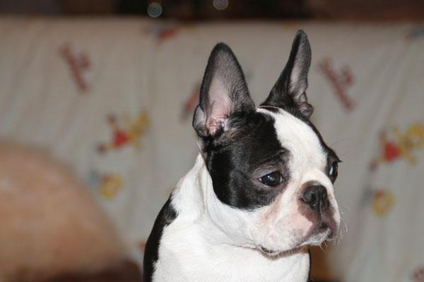 """Typvolle Boston Terrier Welpen mit Stammbaum..., Hunderasse mit """"B"""" wie Boston Terrier..., Familiäre Boston Terrier Zucht in Rheinland-Pfalz"""