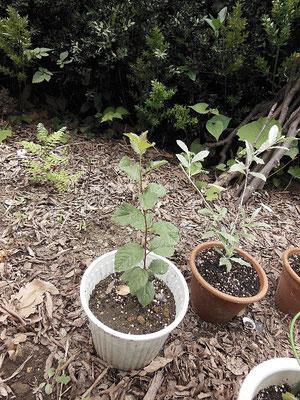 種がら発芽したプルーンです。苗のプルーンもあります。