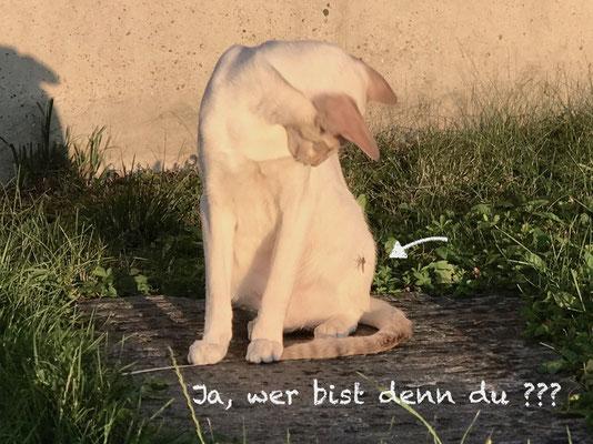 Rassekatzen Orientalen & Siamesen der Liebhaberzucht Stayin'Alive, Luger Irene