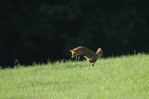 Jagender Rotfuchs - Foto: Uwe Müller (NABU Untertaunus)