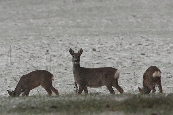 Ricken (Geißen) im Winterfell - Foto: Uwe Müller (NABU Untertaunus)