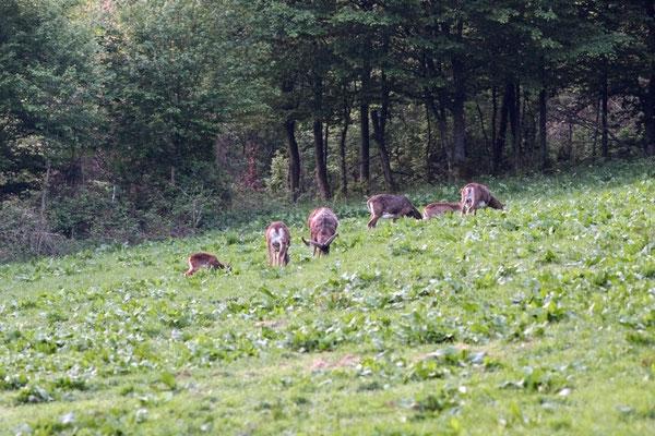 Gruppe Muffelwild währens der morgendlichen Äsung - Foto: Uwe Müller (NABU Untertaunus)
