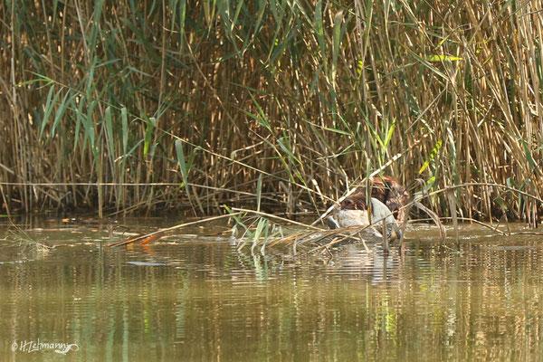 Ente im Schilf gefunden