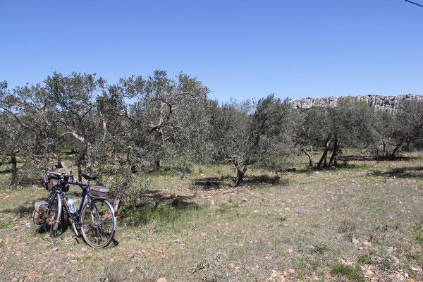 Les oliviers vers les Baux de Provence