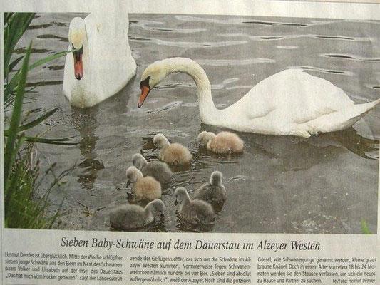 7 Schwanenküken sind am 5. Mai 2014 geboren