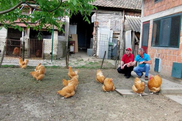 eine erstklassige Herde gelber OrpOrpingtonfreunde aus Belgrad- Serbien v.l.n.r.