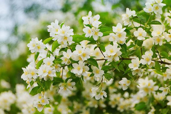 Blumen-Rose | Apfelblüten