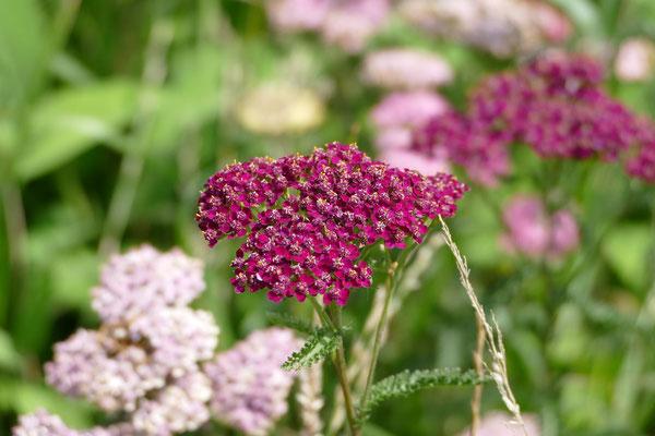 Blumen-Rose | Schafgarbe violett und rosé