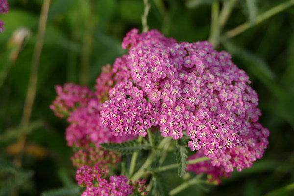 Blumen-Rose | Schafgarbe violett