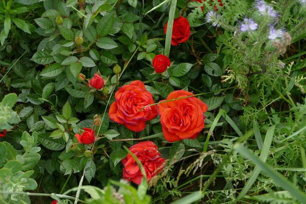 Blumen-Rose | Rote Rosen