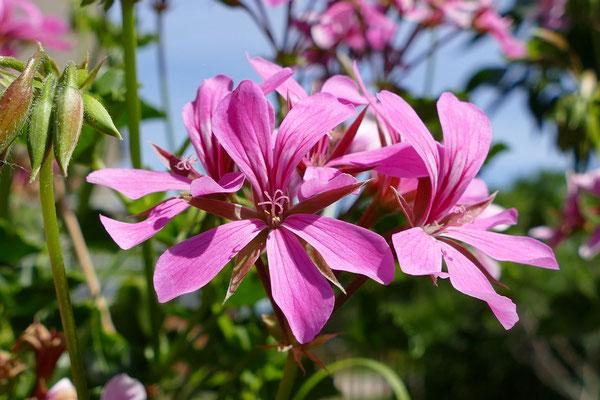 Blumen-Rose | Blüte der mauretanischen Malve