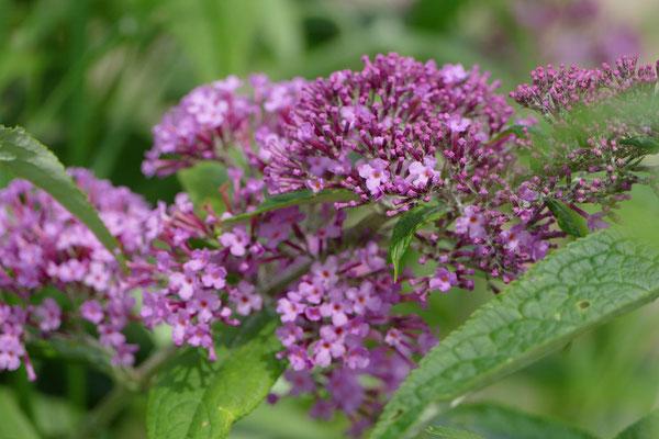 Blumen-Rose | Sommerflieder, Schmetterlingsstrauch violett