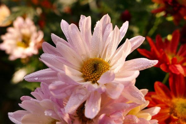 Blumen-Rose | Herbstblüten