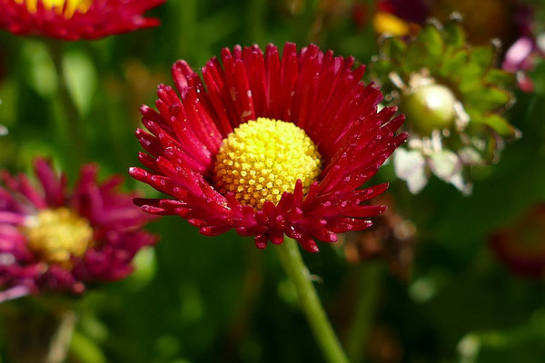 Blumen-Rose | Frühlingsbote Tausendschönchen