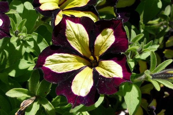 Blumen-Rose | Petunie extravagant in gelb-violett