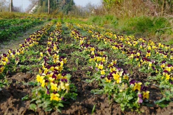 Blumen-Rose | Die Hornveilchen genießen die sanfte Spätherbstsonne.