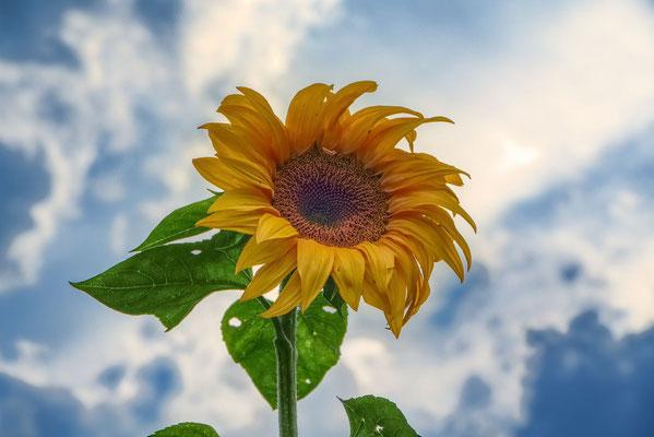 Blumen-Rose | Sonnenblume
