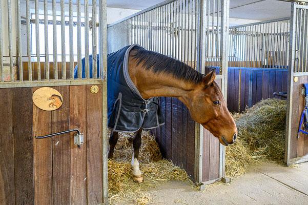 Pferd in Box des Hauptstalls Pferdehof Winkl