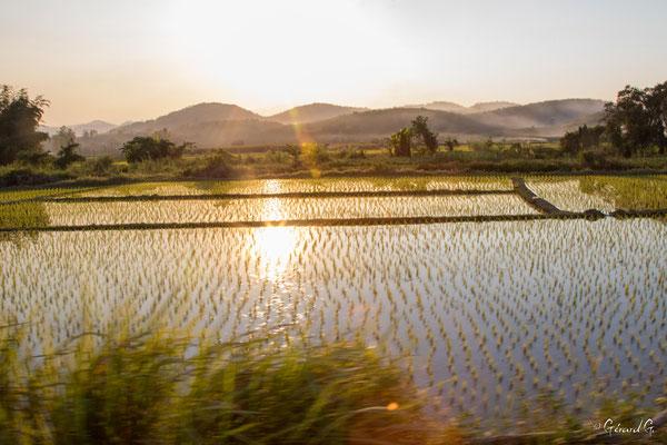 2019  02 - Chiang Rai, Rizieres   -L10A6788