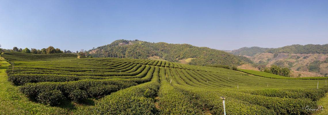 2019  02 - Chiang Rai, Plantation de Thé   -L10A6827-Panorama