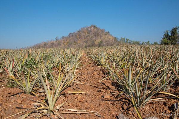 2019  02 - Chiang Rai, Heveas et ananas, Sur la route de Chiang Rai   -L10A6366