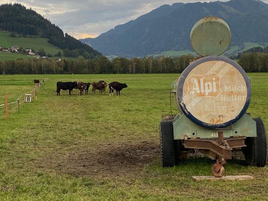 Die Kühe nebenan auf der Weide