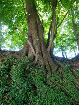 Ort eines Baumwesens bei Augusta Raurica (Waldlinde)