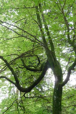 Ort eines Baumwesens (Buche)