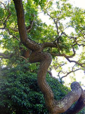 Ort eines Baumwesen bei Augusta Raurica (Eiche)