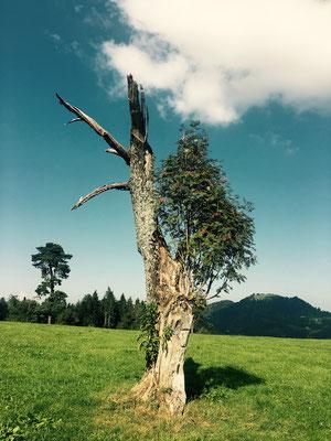 Baumwesen mit Eberesche