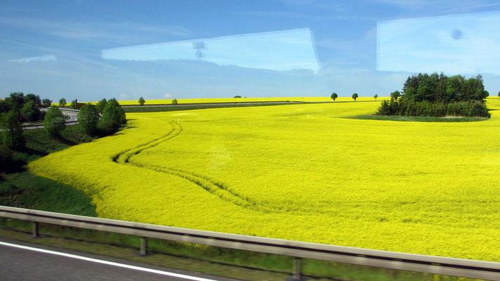 Sonntag: Blühende Rapsfelder auf der Fahrt nach Karlsbad in Tschechien