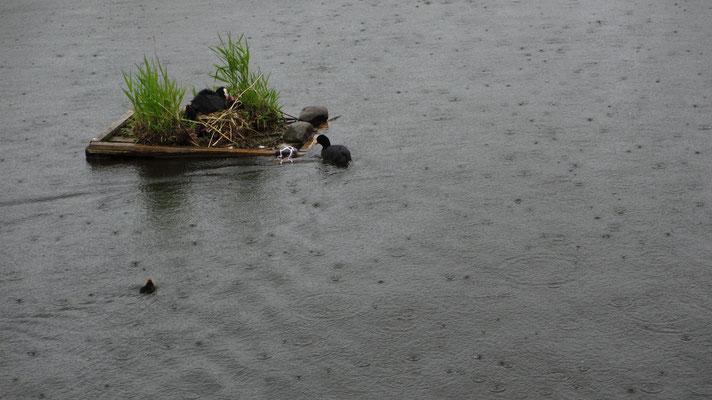 Donnerstag: Entennest im Bodensee (aufgenommen bei Langenargen).