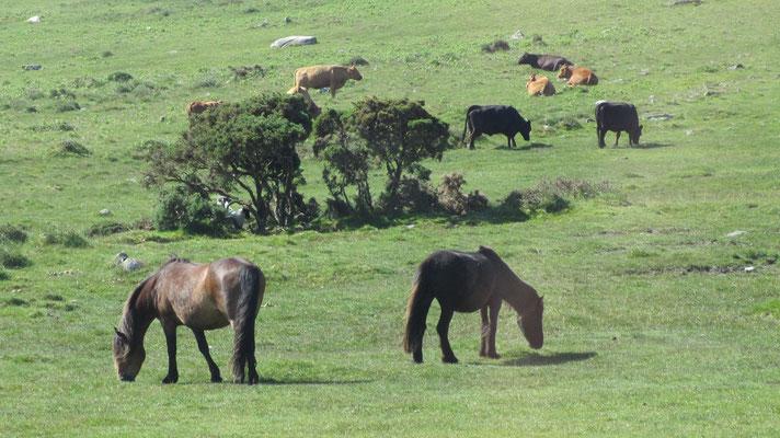 Freitag: Fahrt durch das Moorgebiet von Dartmoor. In dem Naturschutzgebiet weiden Kühe und die Dartmoor Ponies.