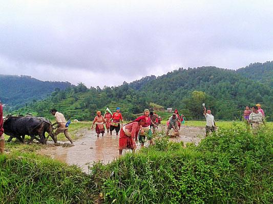 Unterstütztes Projekt Acupuncture Relief Project Nepal Medizinische Erstversorgung Umgebung Reis pflanzen Bauern