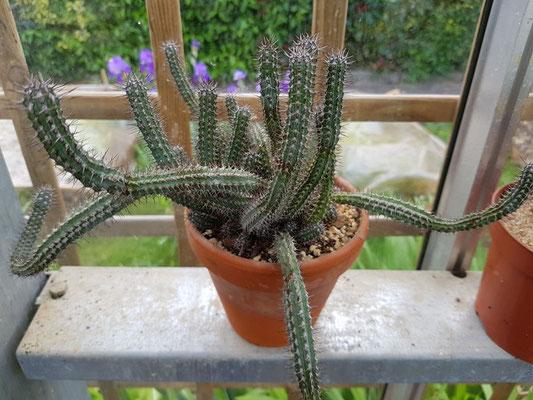 réf:1625-1 Euphorbia Baioensis