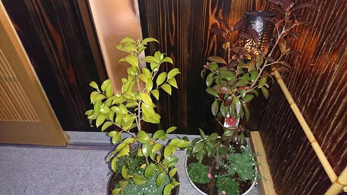 祇園改装工事_清水焼の鉢と植木造作