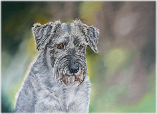 Hundezeichnung, Tierzeichnung, Hundeportrait, Pastellzeichnung, Tiermalerei, Schnauzer, Zeichnung, Pastellzeichnung