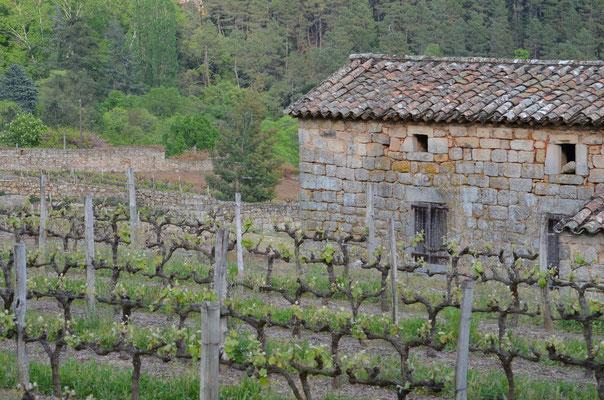 Les vignes originelles du Chatus
