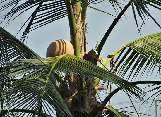 Hier wird Palmwein gewonnen.
